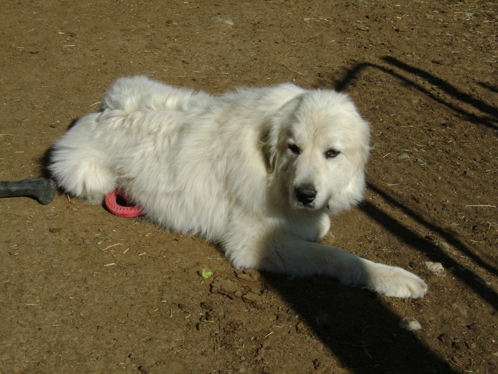 Kizy, a LGD, Livestock Guardian Dog