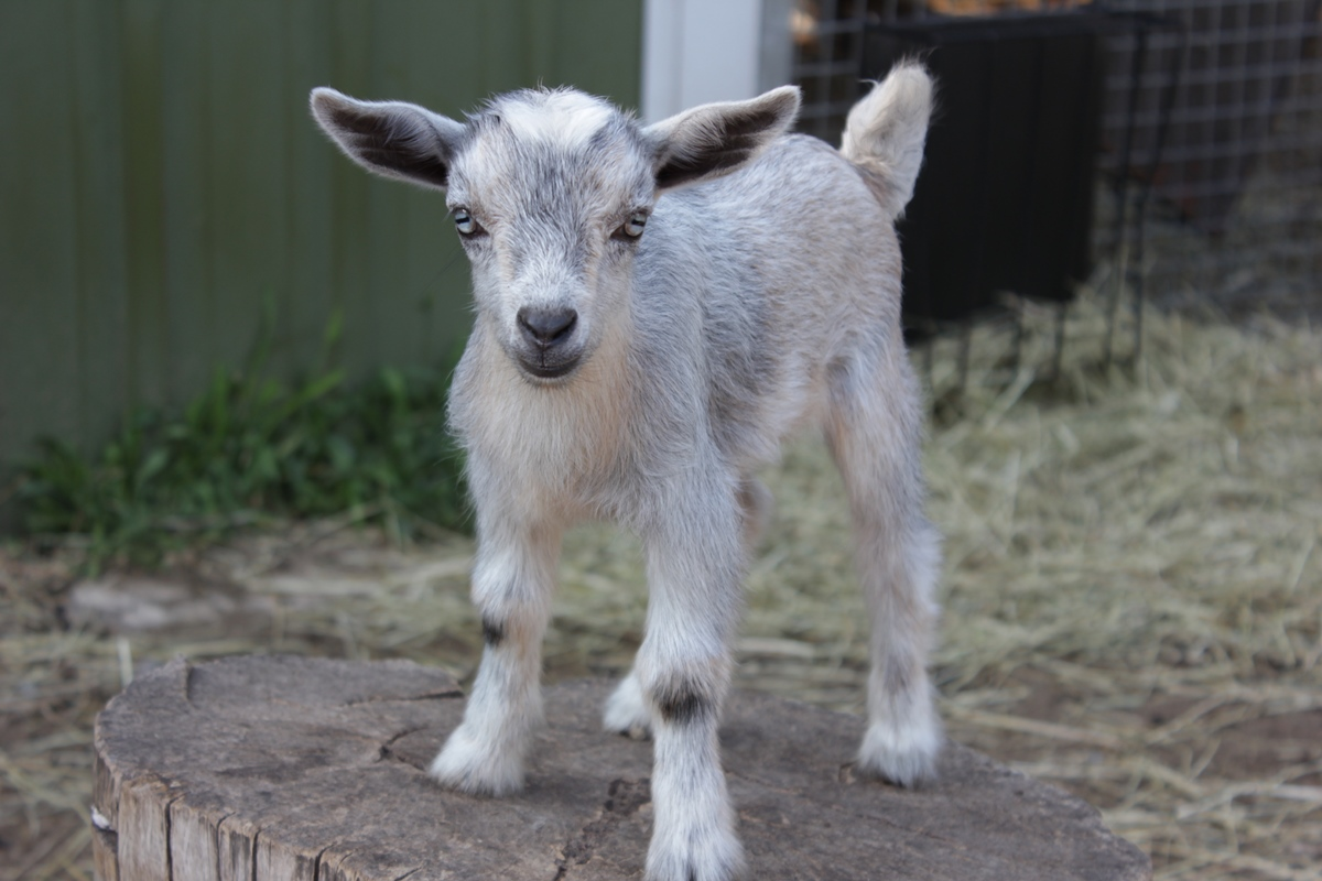 just a goat….riiiight….