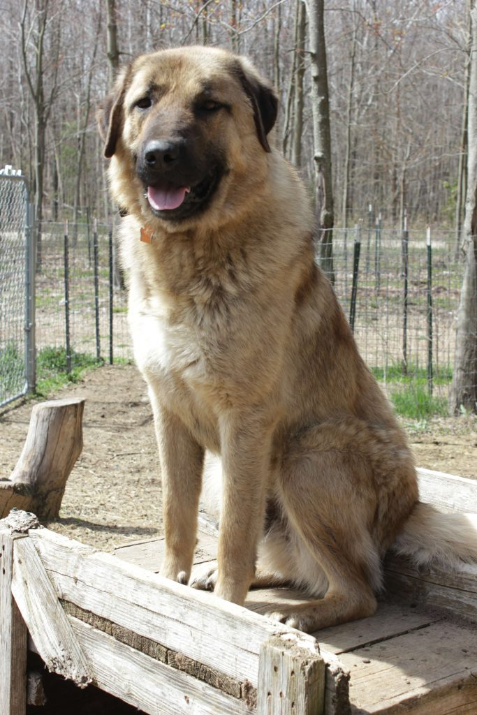 Ike, a Livestock Guarduan Dog